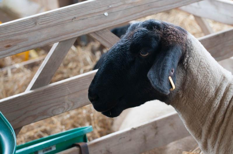 Die Engländer lieben ihre Schafe