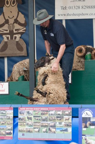 Wie man ein Schaf nackig macht 1