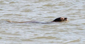 Seehund auf Jagd