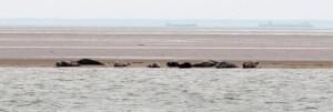 Seehunde  im CROUCH River